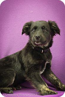 Shepherd (Unknown Type)/Terrier (Unknown Type, Medium) Mix Puppy for adoption in Broomfield, Colorado - Bagel