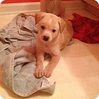 Adopt A Pet :: Malfoy Pup - Danbury, CT