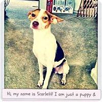Adopt A Pet :: Scarlett - Mesa, AZ
