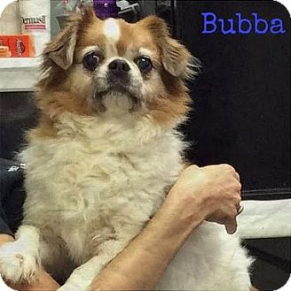 Japanese Chin Dog for adoption in Huntley, Illinois - Bubba