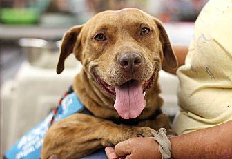 Bulldog/Mastiff Mix Dog for adoption in Myakka City, Florida - Sport