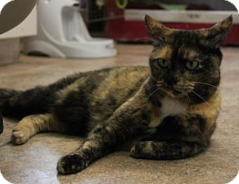 Domestic Shorthair Cat for adoption in West Des Moines, Iowa - Izzie