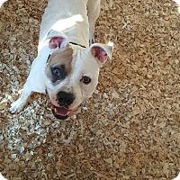American Bulldog Mix Dog for adoption in Livingston Parish, Louisiana - Bruce