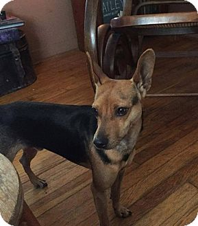 Miniature Pinscher Mix Dog for adoption in Coeburn, Virginia - PRANCER