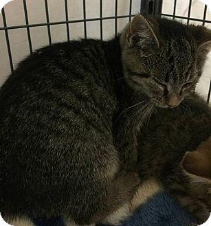 Domestic Shorthair Kitten for adoption in Freeport, New York - Ashley