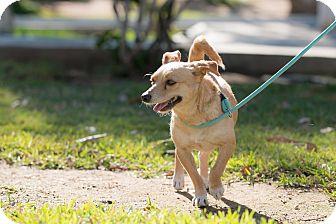 Rat Terrier Mix Dog for adoption in La Jolla, California - Polo