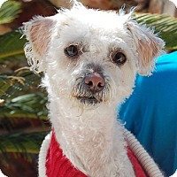 Adopt A Pet :: Terri - Las Vegas, NV