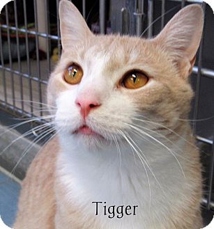 Domestic Shorthair Cat for adoption in Jackson, New Jersey - Tigger