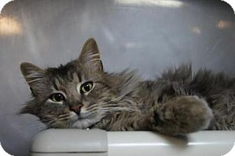 Maine Coon Cat for adoption in New Milford, Connecticut - Fitzwilliam
