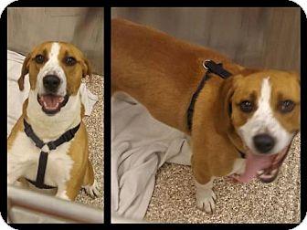 Beagle/American Bulldog Mix Dog for adoption in Martinsburg, West Virginia - Ollie