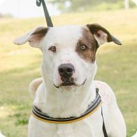 Adopt A Pet :: Patch - Greenwood, SC