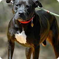 Adopt A Pet :: Cerberus (URGENT) - Pottsville, PA