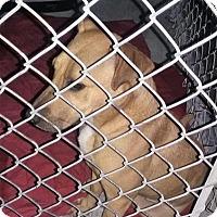 Shepherd (Unknown Type)/Labrador Retriever Mix Dog for adoption in Middletown, New York - Alaska