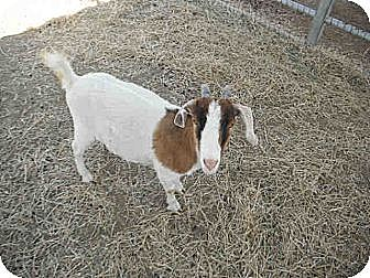 Goat for adoption in West Los Angeles, California - Priscilla