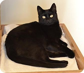 Domestic Shorthair Cat for adoption in Larned, Kansas - Augie