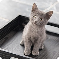 Adopt A Pet :: Wolfy - Chicago, IL