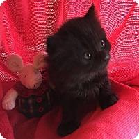 Adopt A Pet :: Eve - Union, KY