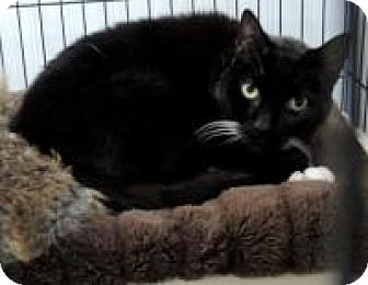 American Shorthair Cat for adoption in Long Beach, Washington - Boots