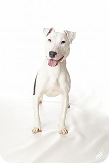 Bull Terrier Dog for adoption in Bardstown, Kentucky - Moo