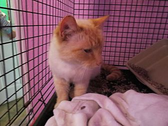 Siamese Cat for adoption in Coos Bay, Oregon - Dandy