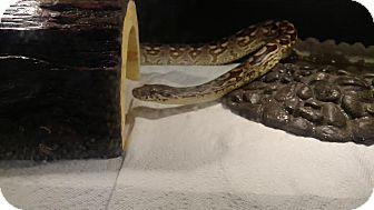 Snake for adoption in Holbrook, Massachusetts - Dromeda