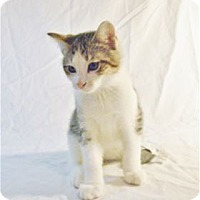 Domestic Mediumhair Kitten for adoption in Nashville, Tennessee - Birch