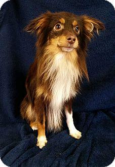 Australian Shepherd/Papillon Mix Dog for adoption in Urbana, Ohio - Loki Montgomery