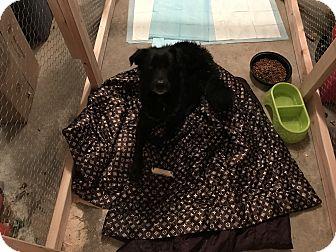 Border Collie/Labrador Retriever Mix Dog for adoption in Lima, Pennsylvania - Miles Davis