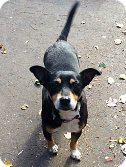 Rat Terrier Mix Dog for adoption in Manchester, Connecticut - Que in CT