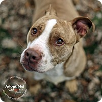 American Pit Bull Terrier Mix Dog for adoption in Lyons, New York - Deena