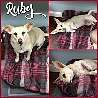 Adopt A Pet :: Ruby - Colmar, PA