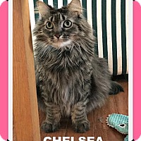 Maine Coon Cat for adoption in Valley Park, Missouri - Chelsea