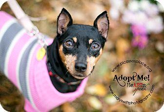 Miniature Pinscher Dog for adoption in Myersville, Maryland - Layla