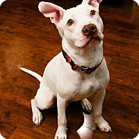 Labrador Retriever/Brittany Mix Dog for adoption in Houston, Texas - Mickey