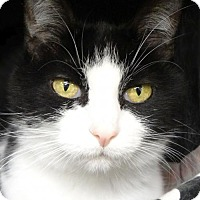 Domestic Shorthair Cat for adoption in St. Paul, Minnesota - Berry