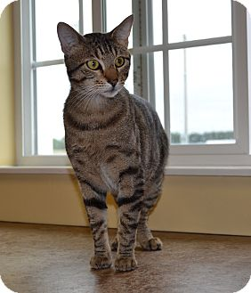 Domestic Shorthair Cat for adoption in Larned, Kansas - Pistol