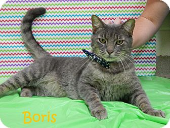 Domestic Shorthair Cat for adoption in Bucyrus, Ohio - Boris