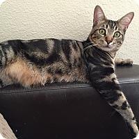 Domestic Shorthair Cat for adoption in Hesperia, California - Jag