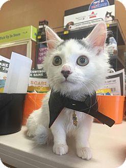 Turkish Van Kitten for adoption in Los Angeles, California - Felis