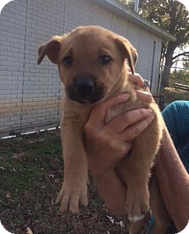 Boxer Puppy for adoption in Danbury, Connecticut - Buffy