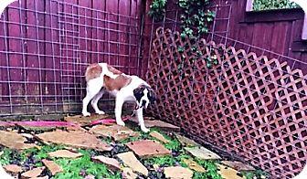 St. Bernard Dog for adoption in McKinney, Texas - Rachel