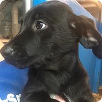Adopt A Pet :: Goblin Girl - Pompton Lakes, NJ