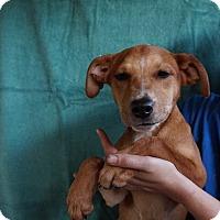 Adopt A Pet :: Azure - Oviedo, FL