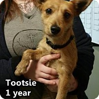 Jack Russell Terrier Mix Dog for adoption in Woodstock, Illinois - Tootsie