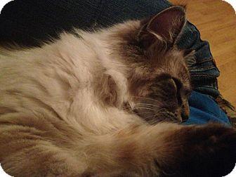 Himalayan Kitten for adoption in Hazard, Kentucky - Simba