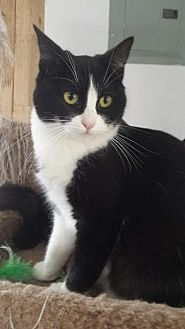 Domestic Shorthair Cat for adoption in Lucerne Valley, California - Sparkle and Glitter