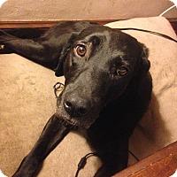 Labrador Retriever Mix Dog for adoption in Lewisville, Indiana - Abbie