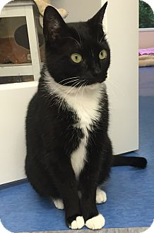 Domestic Shorthair Cat for adoption in Harrison, New York - Sherry