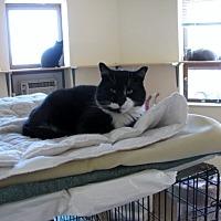 Adopt A Pet :: Felix - Quincy, MA
