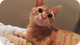 American Shorthair Cat for adoption in Hopkinsville, Kentucky - Oliver